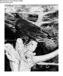 Black Birds by Maine Department of Inland Fisheries and Game and Ken Gray