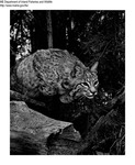 Bobcat by Maine Department of Inland Fisheries and Game and Bill Cross