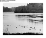 Canada Geese by Maine Department of Inland Fisheries and Game