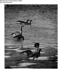 Canada Geese by Maine Department of Inland Fisheries and Game and Bill Cross
