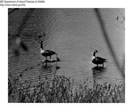 Canada Geese by Maine Department of Inland Fisheries and Game and Tom Carbone