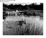 Canada Geese by Maine Department of Inland Fisheries and Game and Bill Mincher