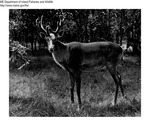 Caribou by Maine Department of Inland Fisheries and Game and Bill Cross