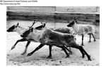 Caribou by Maine Department of Inland Fisheries and Game and Bill Mincher
