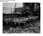 Caribou by Maine Department of Inland Fisheries and Game and Ken Gray