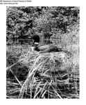 Common Loons by Maine Department of Inland Fisheries and Game and Ken Gray