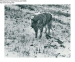 Coyote by Maine Department of Inland Fisheries and Game and Bill Cross