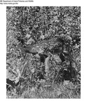 Deer by Maine Department of Inland Fisheries and Game and Bill Cross