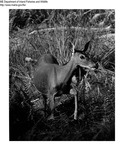 Deer by Maine Department of Inland Fisheries and Game and Bill Byrne