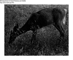 Deer by Maine Department of Inland Fisheries and Game and Bill Mincher