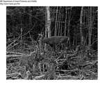 Deer by Maine Department of Inland Fisheries and Game