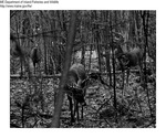 Deer by Maine Department of Inland Fisheries and Game and Jacki Bragg