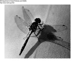 Dragonfly by Maine Department of Inland Fisheries and Game