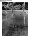 Ducks by Maine Department of Inland Fisheries and Game and Bill Cross