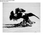 Eagle by Maine Department of Inland Fisheries and Game and Scott Swedberg