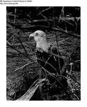 Eagle by Maine Department of Inland Fisheries and Game and Tom Carbone
