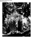 Eagle by Maine Department of Inland Fisheries and Game