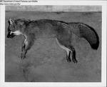 Fox by Maine Department of Inland Fisheries and Game and Ken Gray