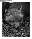 Fox by Maine Department of Inland Fisheries and Game