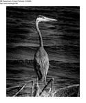 Great Blue Heron by Maine Department of Inland Fisheries and Game and Tom Schoener