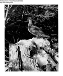 Grouse - Spruce Grouse by Maine Department of Inland Fisheries and Game and Tom Schoener