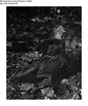 Grouse by Maine Department of Inland Fisheries and Game and Bill Cross