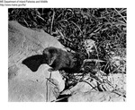 Mink by Maine Department of Inland Fisheries and Game and Bill Cross