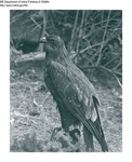 Misc Birds by Maine Department of Inland Fisheries and Game and Tom Carbone
