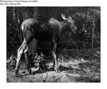 Moose by Maine Department of Inland Fisheries and Game