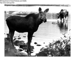 Moose by Maine Department of Inland Fisheries and Game and Bill Byrne
