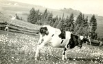 Postcard of a Cow in Griffith Pasture, Limestone, Maine, 1914