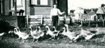 Edward Gessner and his flock of geese on the farm